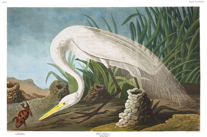 Grote Zilverreiger van Birds of America
