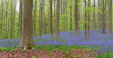 Blauglockenblüten auf dem Waldboden im Frühling von Sjoerd van der Wal