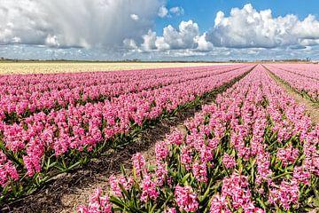 Glühbirnen Feld mit blühenden Hyazinthen von eric van der eijk