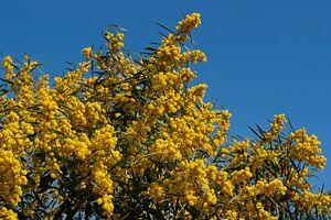 Acacia dealbata tegen een blauwe lucht van Ulrike Leone