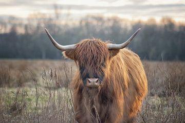 Schottisches Hochlandrind von Linda Lu