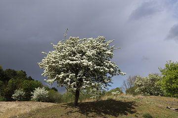 Meidoorn met donkere wolkenlucht von Frans de Winter