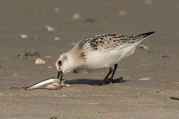 Drieteenstrandloper eet visje op het strand