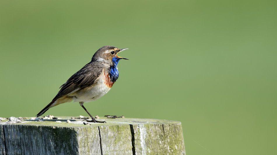Zingende Blauwborst van Nathalie Jongedijk