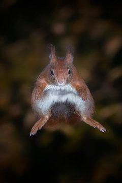 Springendes Eichhörnchen (frontal). von Albert Beukhof