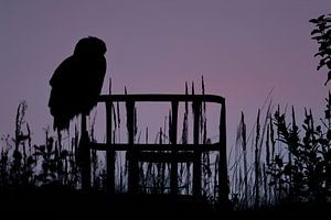 Eurasian Eagle Owl ( Bubo bubo ) in last light, silhouetted against evening sky, wildlife,