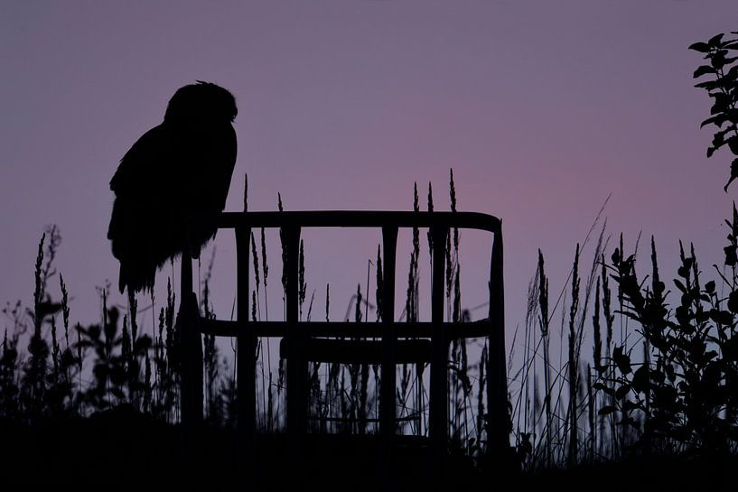 Eurasian Eagle Owl ( Bubo bubo ) in last light, silhouetted against evening sky, wildlife, van wunderbare Erde