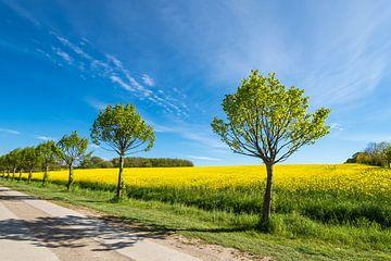 Weg met de bomen op een bloeiend koolzaadveld van Rico Ködder