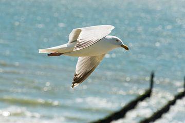 Zeemeeuw in vlucht van Harold  van Zandvoort
