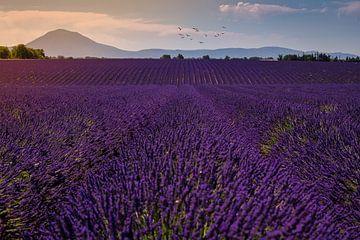 Lavendelveld in de Provence tijdens zonsondergang.