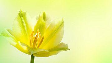 gelbe tulpe makro von Dörte Stiller