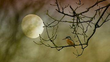 Eisvogel im Mondlicht von Jan Ebbenn