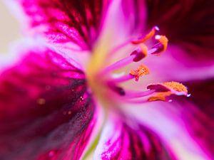 Oranje stuifmeel van een roze geranium