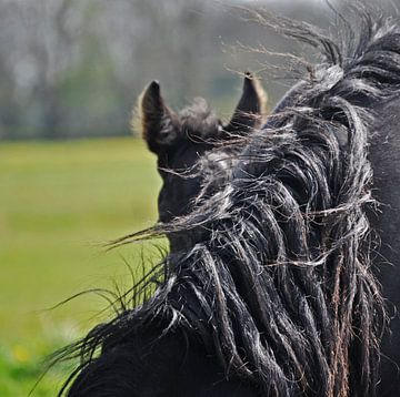 Friesian foal... sur Albertha  de Vries