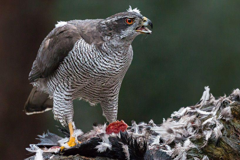 Falke mit Beute. von Joop Lassooij