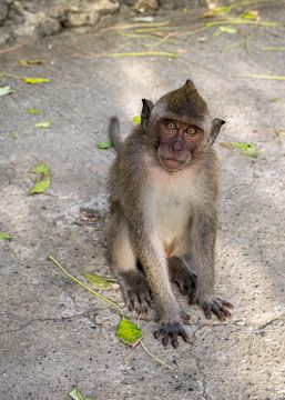 Portret van een Balinese langstaart makaak van Tom de Groot