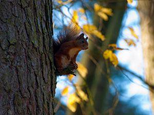 Eekhoorn in de boom van P van Beek