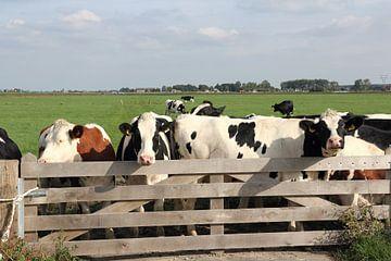 Des vaches à une clôture