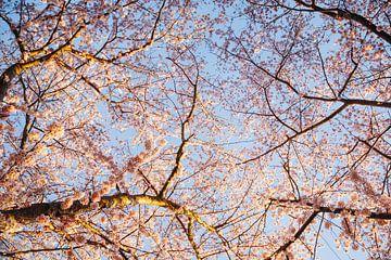 Goldene Stunde Kirschblütenbäume, Japanische Sakura in Almere, Niederlande III | Fine art botanical  von Evelien Lodewijks