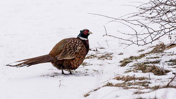 Zweedse fazant