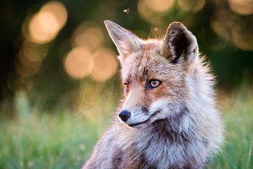 Roter Fuchs in der Abendsonne von Marcel Alsemgeest