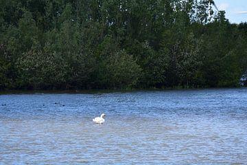 Een zwaan in het water van Gerard de Zwaan