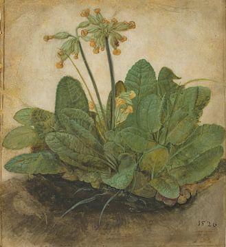 Albrecht Dürer. Paardebloem van
