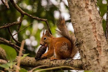 Eichhörnchen beim Mittagessen von Anne Vermeer