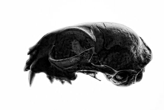 Cat Skull van Cor Ritmeester