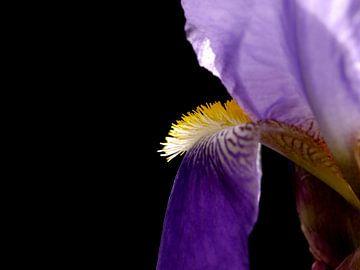 Iris van