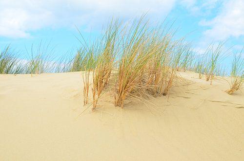 Helmet grass in sand dunes van