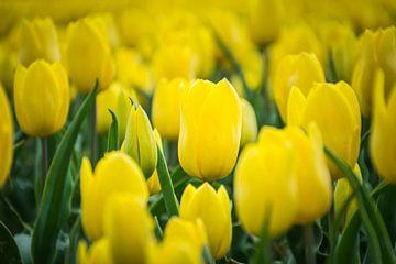 Gele tulp close up,  tulpenveld van Patrick Verhoef
