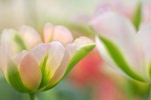 Tulpen in pastel