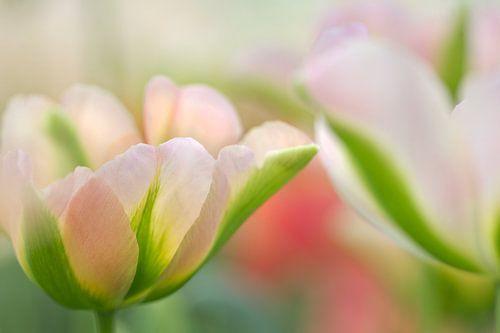 Tulpen in pastel van