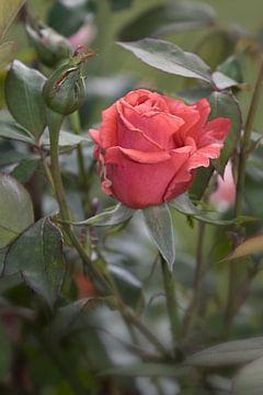 rozen in de tuin van