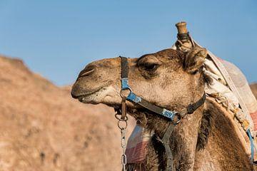 der Kopf eines Kamels in der Wüste von Compuinfoto .
