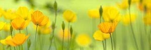 Palet in geel, de klaproos