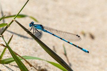 Blauwe waterjuffer van Marcel Alsemgeest