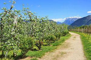 Apple Trees in full bloom