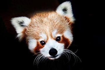 Porträt Roter Panda von peter reinders