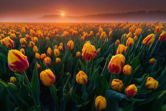 Gele Tulpen van Albert Dros