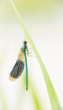 Die Wiesenbuchen-Jungfernfliege hängt am Schilf. von Erik Veldkamp