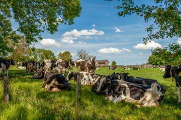 Koeien zoeken schaduw op in Bosschenhuizen Zuid-Limburg van John Kreukniet