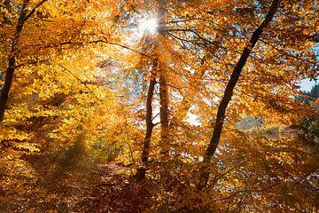zonnestralen in het herfstige beukenbos van Susanne Bauernfeind