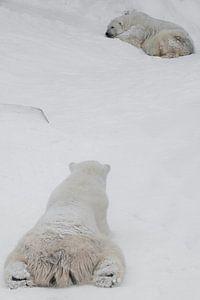 Rückansicht von hinten, vom Hinterkopf aus) auf den Eisbären, aus der Sicht des Bären. Das Männchen