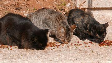 Drei Katzen in einer Reihe fressen Katzenbrocken in der warmen Sonne von Gert Bunt