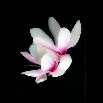 Magnolia van Peter Baak