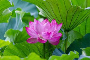 Lotus sur ton vogels