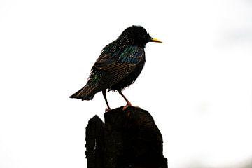 Silhouette van een Spreeuw van Koen Boelrijk Photography
