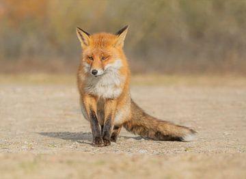 Bold fox van Anna Stelloo